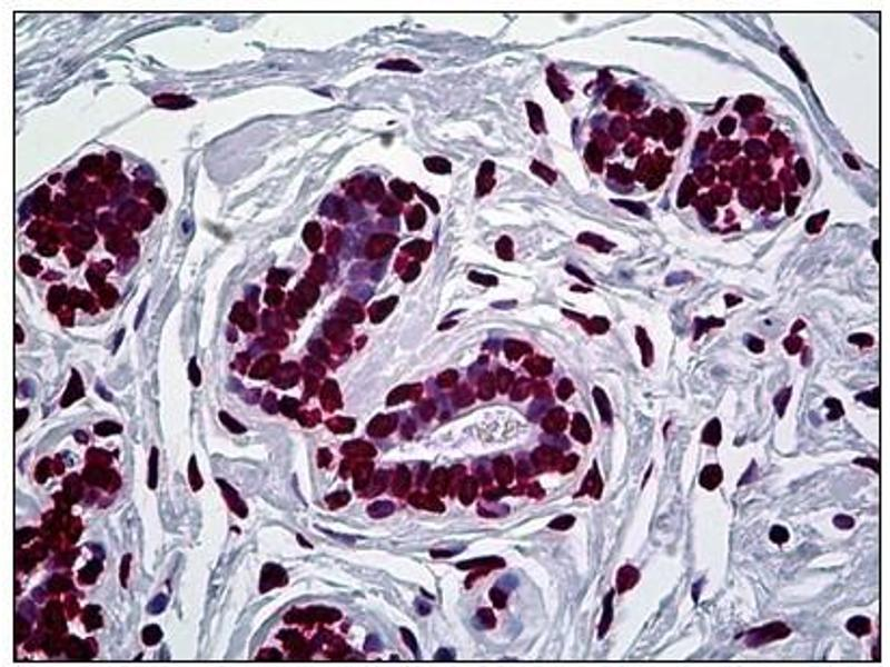 Immunohistochemistry (IHC) image for anti-Engrailed Homeobox 1 (EN1) antibody (ABIN781856)