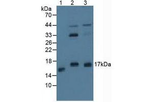 Image no. 1 for anti-Protein Phosphatase 3, Regulatory Subunit B, alpha (PPP3R1) (AA 2-170), (Regulatory Subunit 1) antibody (ABIN5014192)
