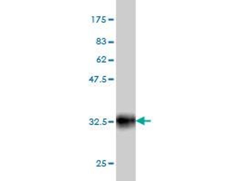 Image no. 4 for anti-POU Class 3 Homeobox 2 (POU3F2) (AA 1-67) antibody (ABIN562322)