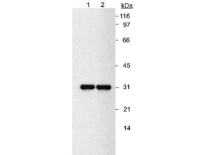 Western Blotting (WB) image for anti-NQO1 antibody (NAD(P)H Dehydrogenase, Quinone 1) (ABIN152344)