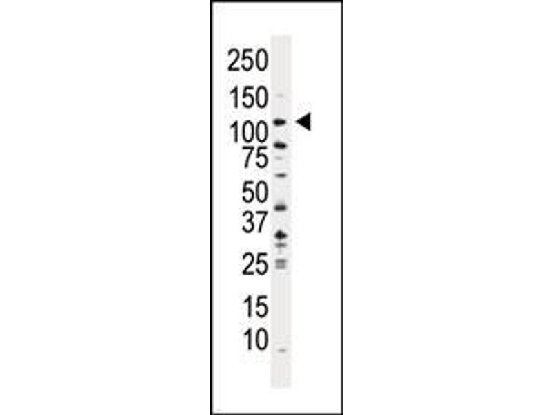 Western Blotting (WB) image for anti-PI3KC3 (AA 24-53), (N-Term) antibody (ABIN392555)