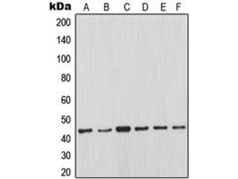 Western Blotting (WB) image for anti-MCL-1 antibody (Induced Myeloid Leukemia Cell Differentiation Protein Mcl-1) (Center) (ABIN2706515)