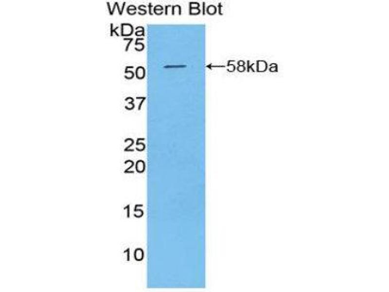 Western Blotting (WB) image for anti-Kallikrein 6 (KLK6) (AA 26-261) antibody (ABIN1859554)
