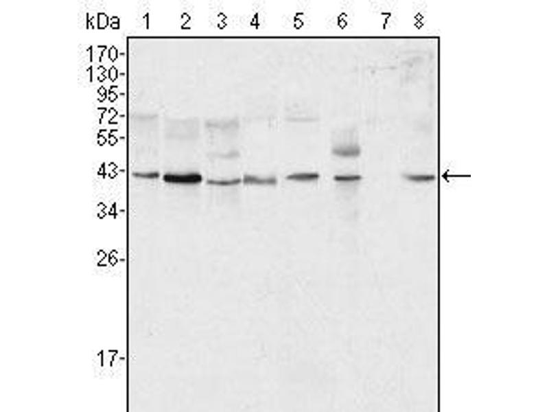 Western Blotting (WB) image for anti-Mitogen-Activated Protein Kinase 1 (MAPK1) antibody (ABIN2869212)