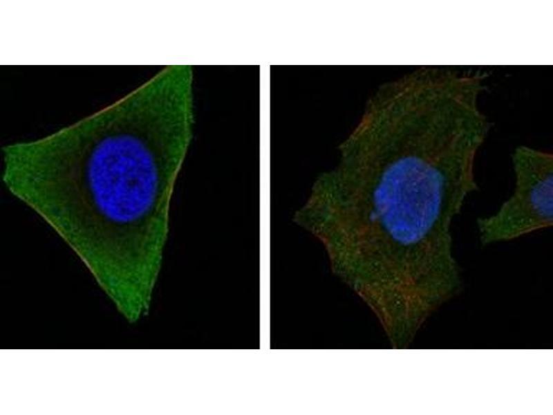 Immunofluorescence (IF) image for anti-Tyrosine-Protein Kinase JAK3 (JAK3) antibody (ABIN1109428)