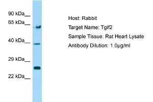 Image no. 1 for anti-TGFB-Induced Factor Homeobox 2 (TGIF2) (N-Term) antibody (ABIN2777817)