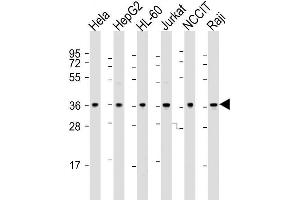 Image no. 2 for anti-8-Oxoguanine DNA Glycosylase (OGG1) (AA 318-345), (C-Term) antibody (ABIN390918)