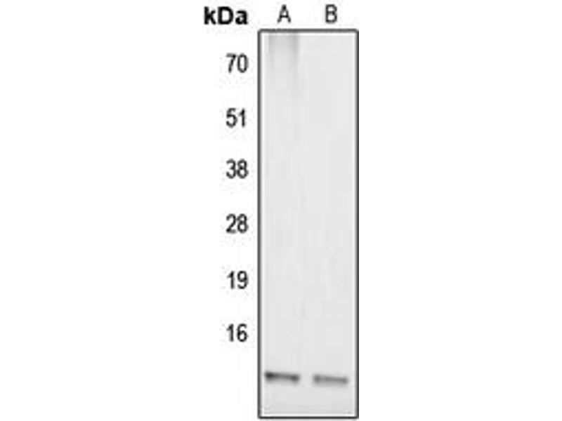 Image no. 3 for anti-COX17 Cytochrome C Oxidase Assembly Homolog (S. Cerevisiae) (COX17) (N-Term) antibody (ABIN2707443)