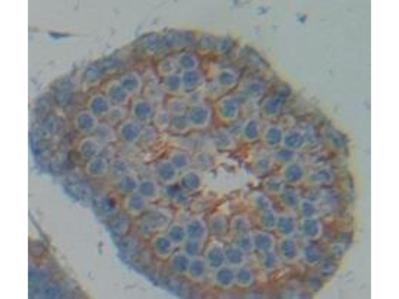 Immunohistochemistry (Paraffin-embedded Sections) (IHC (p)) image for anti-P450 (Cytochrome) Oxidoreductase (POR) (AA 210-578) antibody (ABIN2898151)