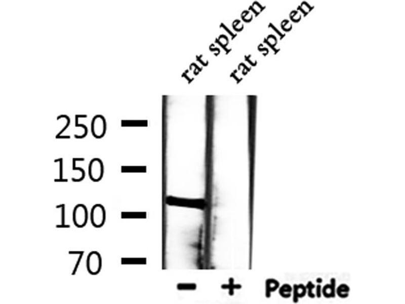 Image no. 3 for anti-Minichromosome Maintenance Complex Component 2 (MCM2) antibody (ABIN6263158)