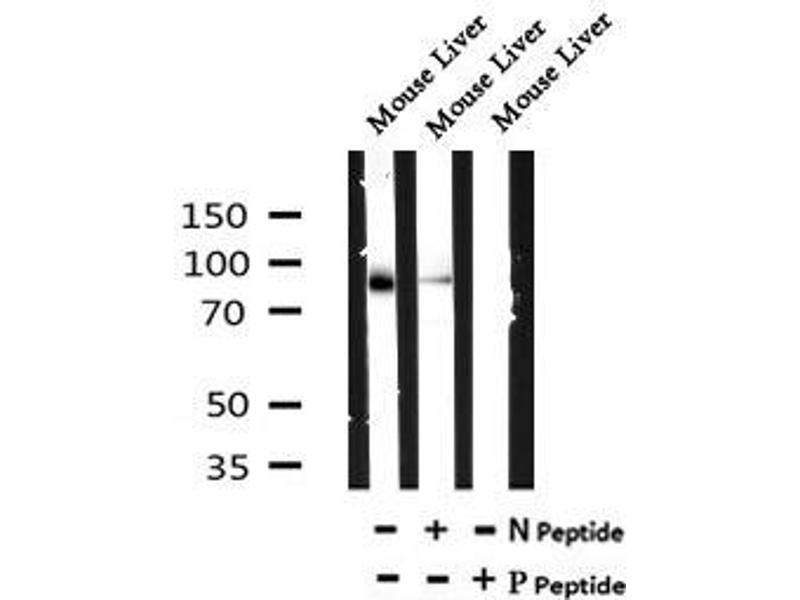 Image no. 3 for anti-Toll-Like Receptor 5 (TLR5) (pSer805) antibody (ABIN6269685)