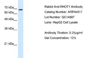Western Blotting (WB) image for anti-Ras Homolog Gene Family, Member T1 (RHOT1) (N-Term) antibody (ABIN310631)