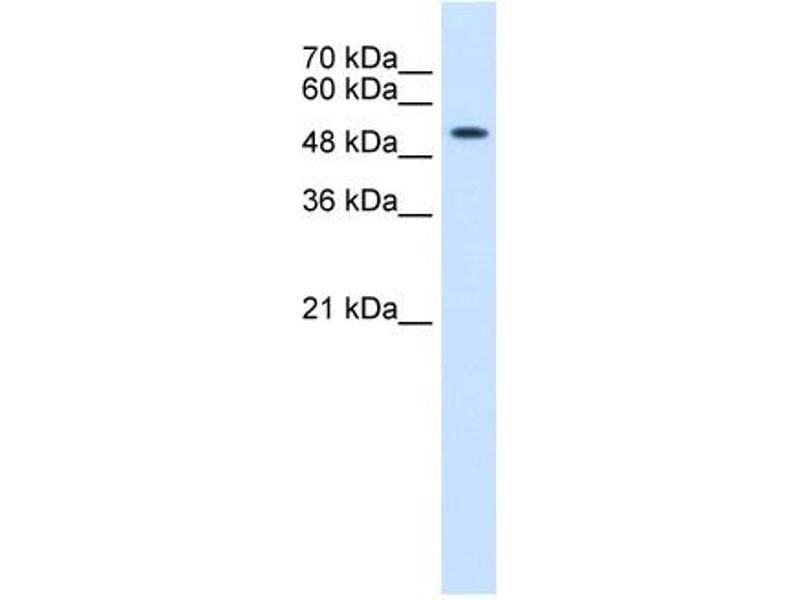 Western Blotting (WB) image for anti-Keratin 8 (KRT8) (N-Term) antibody (ABIN310267)