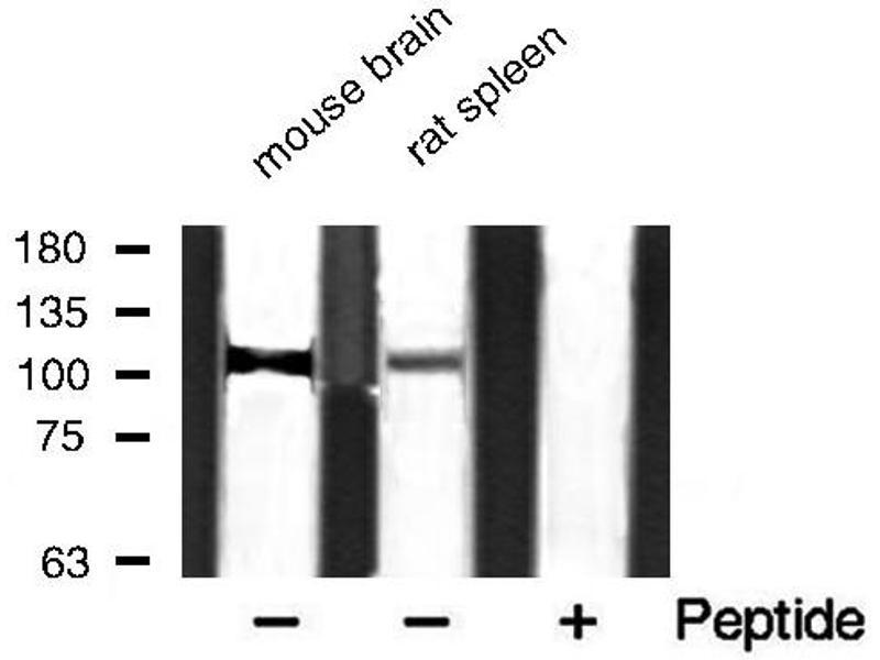 Image no. 1 for anti-Myosin Phosphatase, Target Subunit 1 (PPP1R12A) (pThr853) antibody (ABIN6255746)