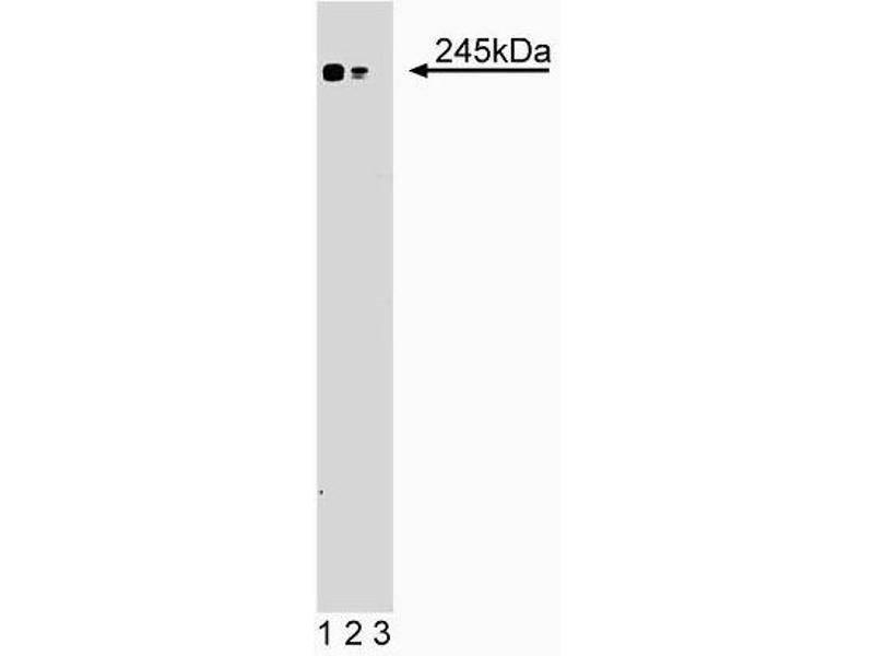 Western Blotting (WB) image for anti-MTOR antibody (Mechanistic Target of Rapamycin (serine/threonine Kinase)) (AA 185-290) (ABIN968384)