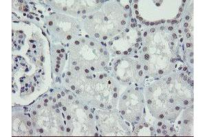 Image no. 5 for anti-Zinc Finger, BED-Type Containing 1 (ZBED1) antibody (ABIN1501794)