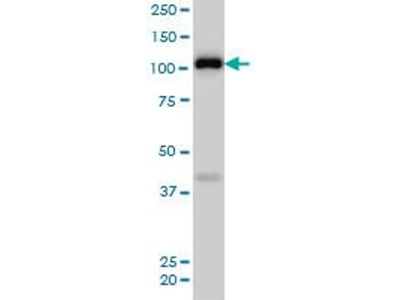 Western Blotting (WB) image for anti-EPH Receptor A4 (EPHA4) (AA 887-986), (partial) antibody (ABIN560755)