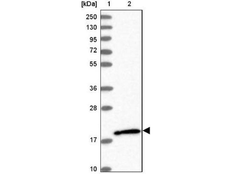 Western Blotting (WB) image for anti-Ras Homolog Family Member G (RHOG) antibody (ABIN4350435)