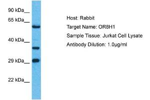 Image no. 1 for anti-Olfactory Receptor, Family 8, Subfamily H, Member 1 (OR8H1) (C-Term) antibody (ABIN2774568)