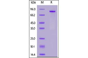 Image no. 2 for Notch 1 (NOTCH1) (AA 19-526) (Active) protein (Fc Tag) (ABIN7013576)
