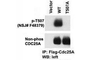 Image no. 5 for anti-Cell Division Cycle 25 Homolog A (S. Pombe) (CDC25A) (pThr507) antibody (ABIN3030450)
