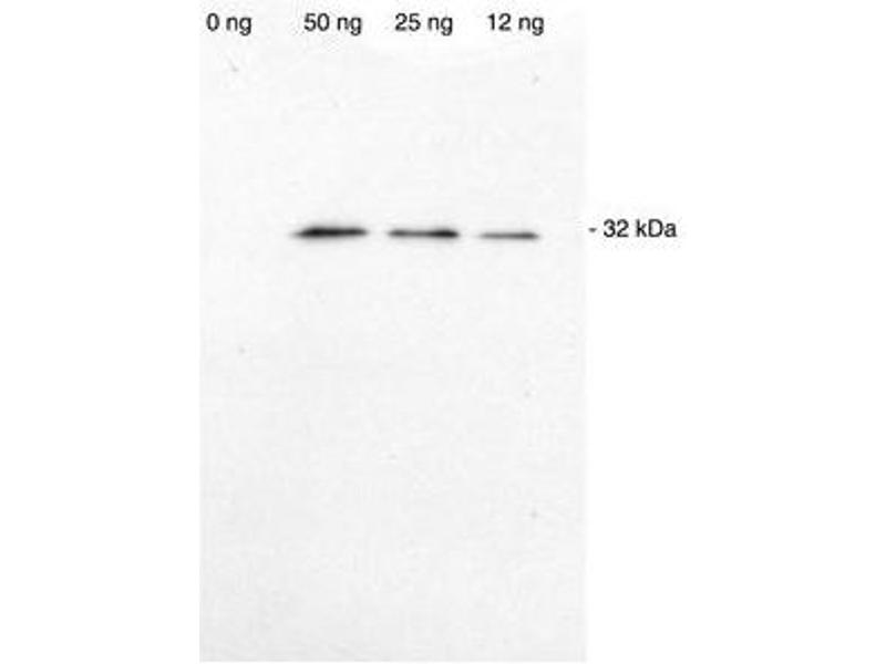 Western Blotting (WB) image for Spot-Label for Western Blot (ABIN5680072)