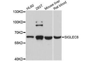 Image no. 1 for anti-Sialic Acid Binding Ig-Like Lectin 9 (SIGLEC9) antibody (ABIN6566965)