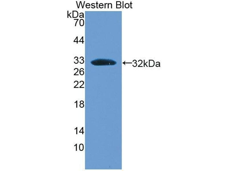 Western Blotting (WB) image for anti-BMP Binding Endothelial Regulator (BMPER) (AA 40-298) antibody (ABIN1866926)