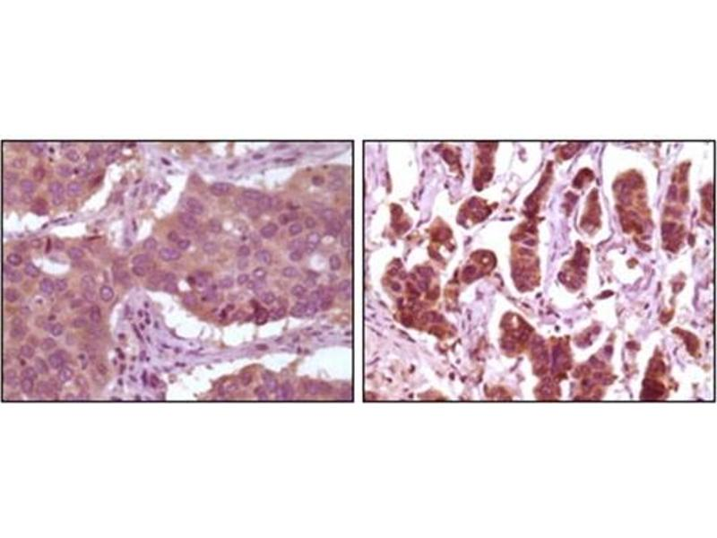Immunohistochemistry (IHC) image for anti-ERK2 antibody (Mitogen-Activated Protein Kinase 1) (ABIN1107133)