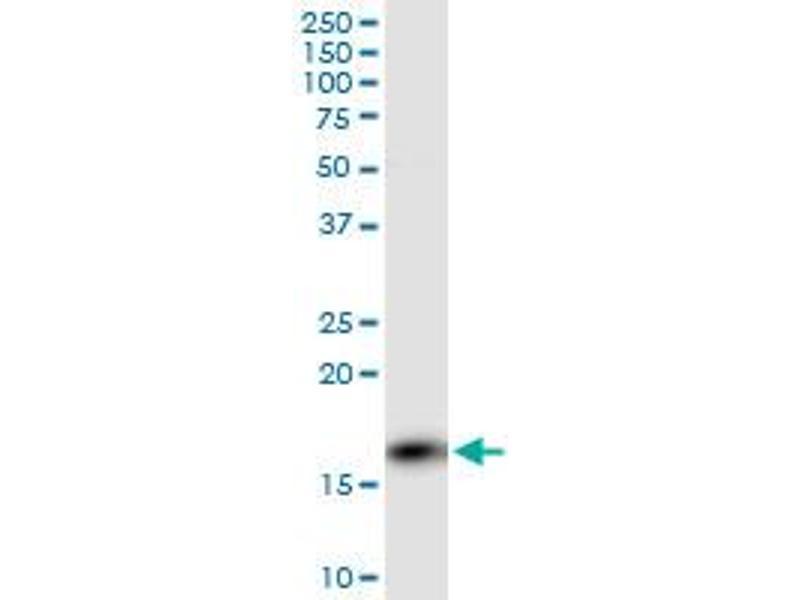 Western Blotting (WB) image for anti-PPP3R1 Antikörper (Protein Phosphatase 3, Regulatory Subunit B, alpha) (AA 1-170) (ABIN562357)