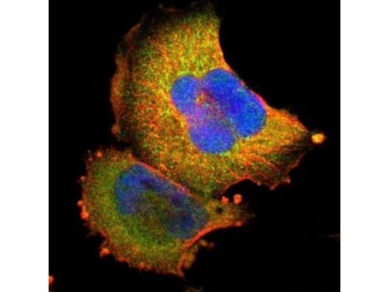 Immunofluorescence (IF) image for anti-Signal Transducer and Activator of Transcription 3 (Acute-Phase Response Factor) (STAT3) antibody (ABIN4356373)
