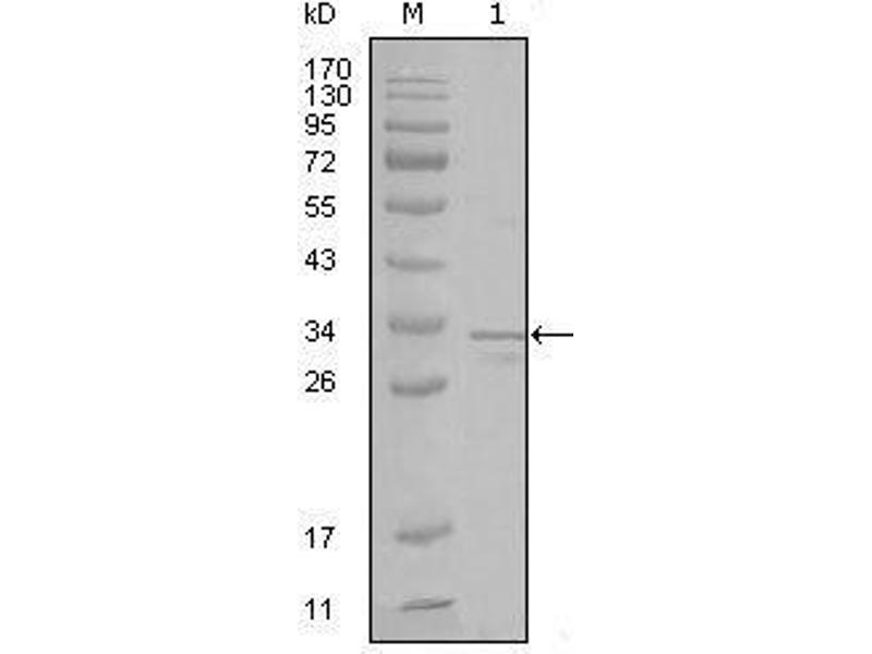 Western Blotting (WB) image for anti-Fyn-Related Kinase (FRK) (AA 2-300) antibody (ABIN969157)