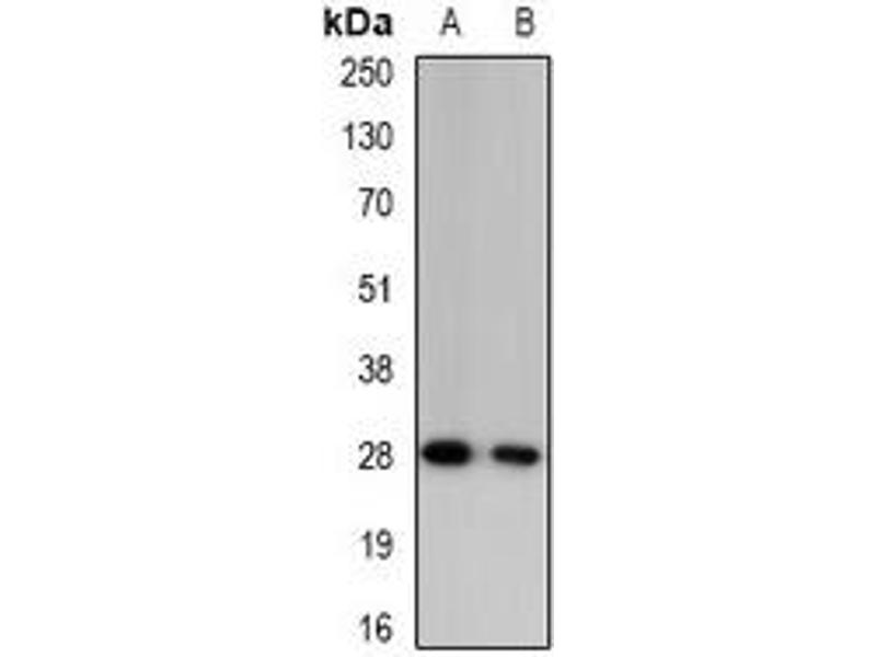 Western Blotting (WB) image for anti-GZMA antibody (Granzyme A (Granzyme 1, Cytotoxic T-Lymphocyte-Associated serine Esterase 3)) (ABIN3222898)