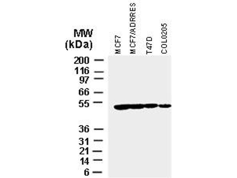 image for anti-XIAP antibody (X-Linked Inhibitor of Apoptosis) (AA 163-230) (ABIN957244)