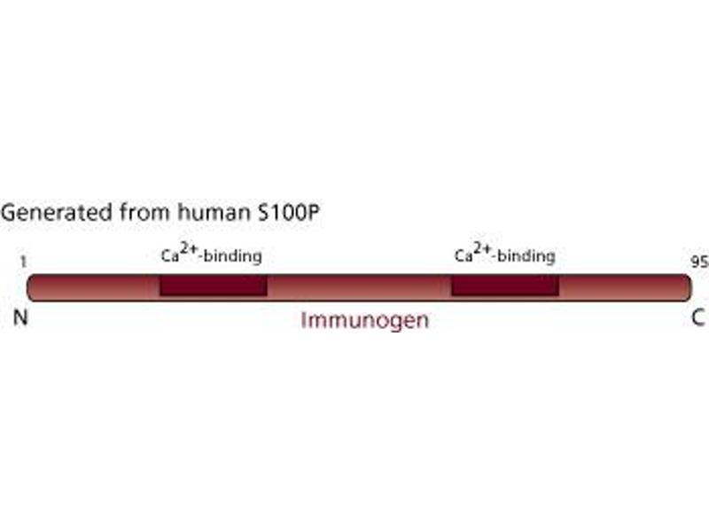 Image no. 3 for anti-S100 Calcium Binding Protein P (S100P) (AA 1-95) antibody (ABIN967893)