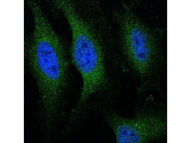 Immunofluorescence (IF) image for anti-Cytochrome C antibody (Cytochrome C, Somatic) (AA 50-89) (ABIN723590)