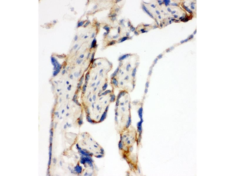 Immunohistochemistry (IHC) image for anti-Transcription Factor A, Mitochondrial (TFAM) (AA 227-246), (C-Term) antibody (ABIN3044014)