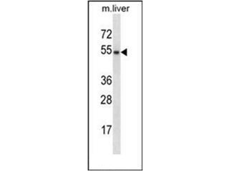 Western Blotting (WB) image for anti-GATA Binding Protein 3 (GATA3) (AA 234-263), (Middle Region) antibody (ABIN952467)