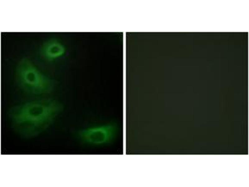 Immunofluorescence (IF) image for anti-5HT1B Receptor antibody (Serotonin Receptor 1B) (ABIN1534239)