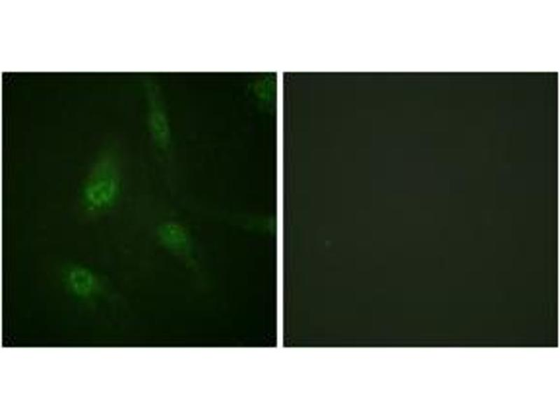 Immunofluorescence (IF) image for anti-Nuclear Factor of Activated T-Cells, Cytoplasmic, Calcineurin-Dependent 3 (NFATC3) (AA 131-180), (pSer165) antibody (ABIN1531351)