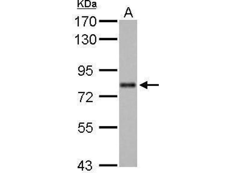 Western Blotting (WB) image for anti-AT Rich Interactive Domain 3A (BRIGHT-Like) (ARID3A) (Internal Region) antibody (ABIN2856170)