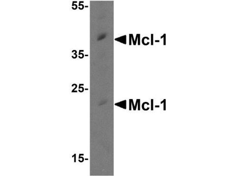 Western Blotting (WB) image for anti-MCL-1 antibody (Induced Myeloid Leukemia Cell Differentiation Protein Mcl-1) (ABIN4333174)