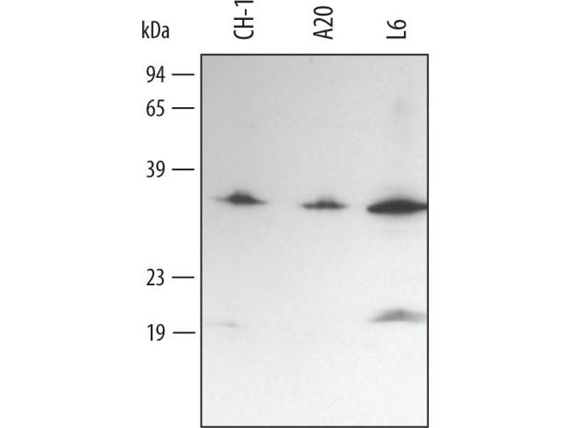 Western Blotting (WB) image for anti-Myeloid Differentiation Primary Response Gene (88) (MYD88) (AA 1-296) antibody (ABIN4899043)