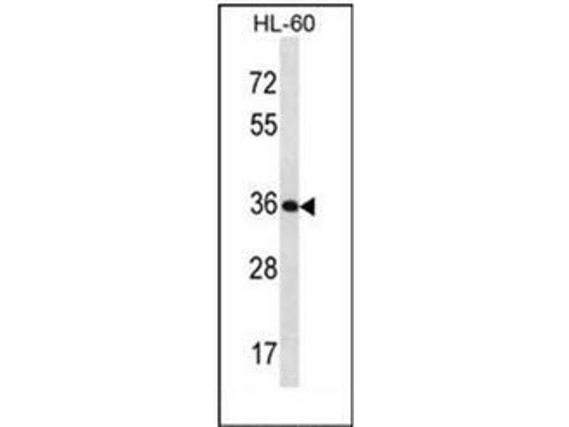 Western Blotting (WB) image for anti-Kallikrein 9 (KLK9) (AA 81-111), (Middle Region) antibody (ABIN953103)