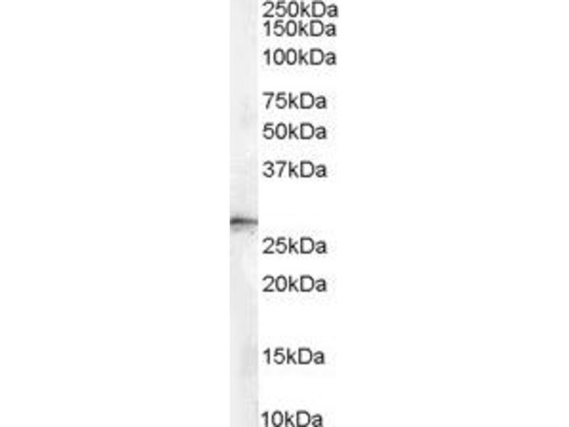 Western Blotting (WB) image for anti-Stratifin (SFN) antibody (ABIN250903)