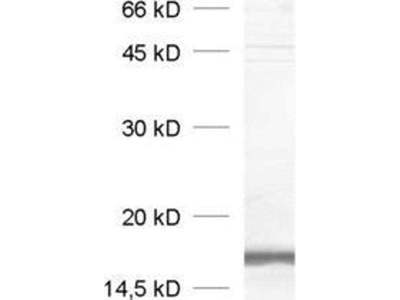 Western Blotting (WB) image for anti-Vesicle-Associated Membrane Protein 2 (Synaptobrevin 2) (VAMP2) (AA 2-17) antibody (ABIN1742194)