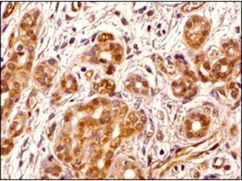 Immunohistochemistry (Paraffin-embedded Sections) (IHC (p)) image for anti-Transportin 1 antibody (TNPO1) (ABIN269569)