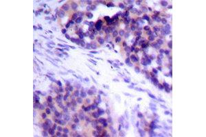 Image no. 2 for anti-BCL2-Like 1 (BCL2L1) (pSer62) antibody (ABIN1870015)
