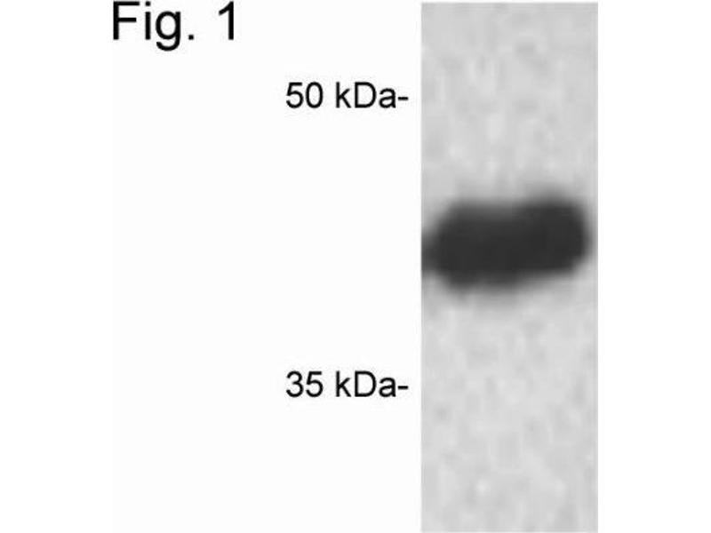 Western Blotting (WB) image for anti-CREB1 antibody (CAMP Responsive Element Binding Protein 1) (ABIN4300445)