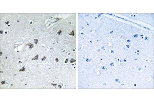Image no. 1 for anti-Eukaryotic Translation Initiation Factor 3 Subunit F (EIF3F) (Internal Region) antibody (ABIN1576233)